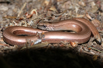 A Slow-worm (Anguis fragilis) curled up in the undergrowth warming up.