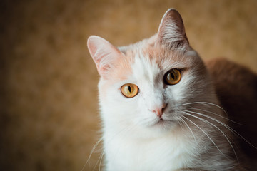 Portrait of a white-red cat