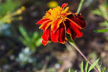 Obraz Piękny żółty i czerwony kwiat - fototapety do salonu