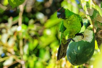 Ouvea parakeet eating papaya on Ouvea Island, Loyalty Islands, New Caledonia