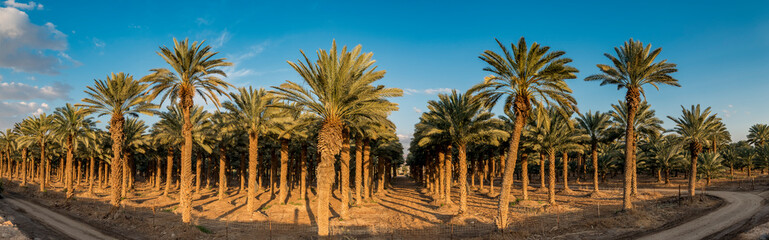 Panoramic image with plantation of date palms, image depicts an advanced desert agriculture in the Middle East