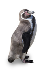 Humboldt penguin on a white background