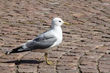 single Gull on the city sidewalk