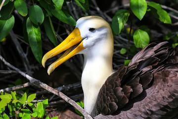 Portrait of Waved albatross on Espanola Island, Galapagos National park, Ecuador