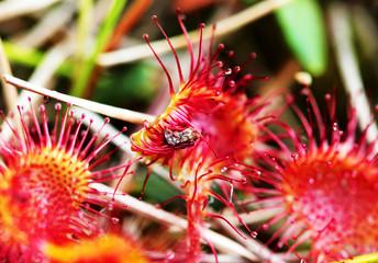 carnivorous plant sundew (Drosera rotundifolia)
