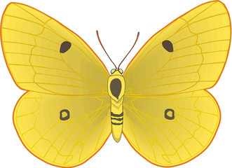 Clouded Yellow Butterfly Vector Illustration