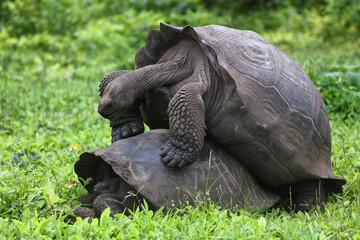 Galapagos Giant Tortoises mating having sex on Santa Cruz Island in Galapagos Islands. Giant Tortoise, Animals, nature and wildlife nature close up of tortoise in the highlands of Galapagos, Ecuador.
