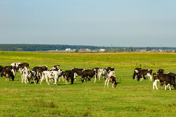 A herd of young cows and heifers grazing in a lush green pasture of grass on a beautiful sunny day. Black and white cows in a grassy field on a bright and sunny day.