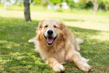 cachorro sorrindo feliz na sombra