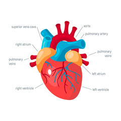 Human heart vector icon in flat style