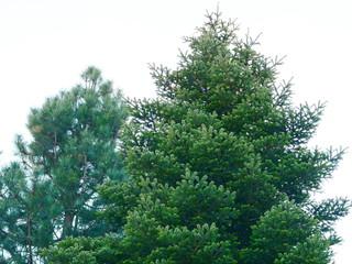 fir trees against a bright blue sky