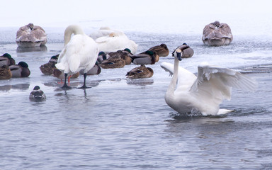 Swans are playing in open water of a lake at early spring time