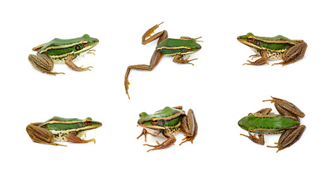 Foto auf AluDibond Frosch Group of paddy field green frog or Green Paddy Frog (Rana erythraea) on a white background. Amphibian. Animal.
