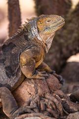 Galapagos Land Iguana. Yellow land iguana climbing in tree on North Seymour. Amazing animals and wildlife in Galapagos Islands, Ecuador, South America. Male land iguana.