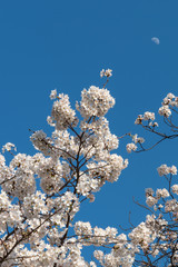 Close up full bloom beautiful pink cherry blossoms flowers ( sakura ) over the garden in springtime sunny day with soft natural background
