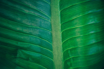 Wall Mural - Close-up foliage of tropical leaf in dark green texture,  abstract nature background. vintage color tone.