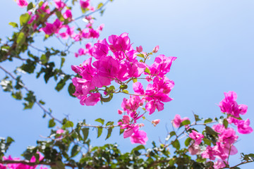 Pink flowers of bougainvillea. Beautiful Colorful Bougainvillea blossoms