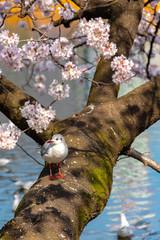 Close-up Black-headed gull birds (Chroicocephalus ridibundus) and sakura cherry blossoms full bloom in springtime sunny day around Ueno park lake at Tokyo, Japan.