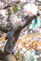 Close-up cute dove birds and sakura cherry blossoms full bloom in springtime sunny day with natural background around Ueno park lake at Tokyo, Japan.