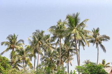 Coconut palm trees group over house roof on beautiful blue sky with clouds natural patterns for background