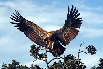 landender Gänsegeier (Gyps fulvus) - Griffon vulture Wall mural