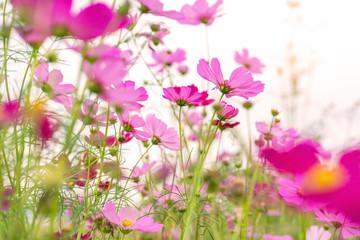 Obraz Cosmos colorful flower in the beautiful garden - fototapety do salonu
