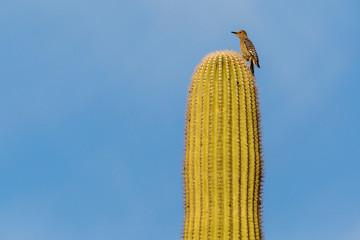 A female gila woodpecker perched atop a saguaro cactus in Saguaro National Park in Arizona).