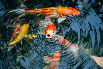Koi fish in the pond in the garden