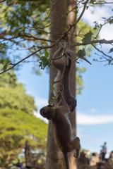 Angkor Wat Temple Monkeys