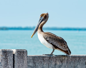 Pelican resting at the Skyway