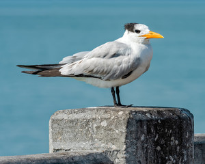 Royal Tern watching