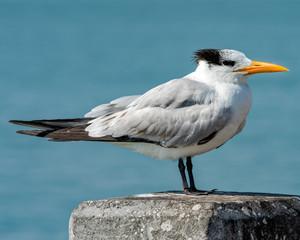 Royal tern standing