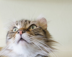 Close up brown tabby cat American Curl perk face and looking up,young cat lovely pet,so cute,isolated background