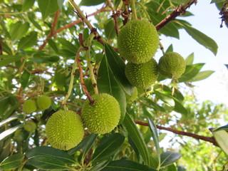 Frutti acerbi