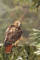 View of a red-tailed hawk sitting on the spruce branche at a winter time
