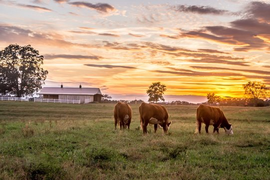 Cows grazing in pasture beautiful sunset
