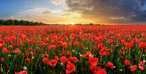 Spoed Fotobehang Klaprozen Poppy field at sunset