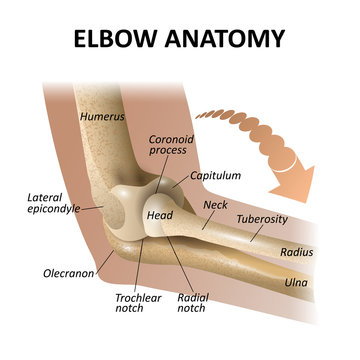 Anatomy of the elbow joint, medical education background, isolate model mockup for posters. Vector illustration as a template for banners.