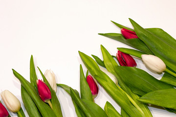 Floral tulips background with copy space. Red and white buttoms isolated on white background. Happy Valentine's Day, International Women's day and Mother's day. Hello spring.