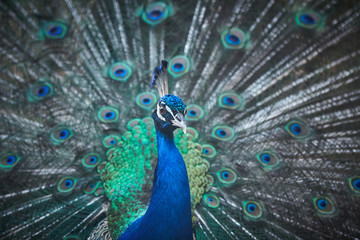 beautiful feathers of an Indian peafowl, a large and brightly colored bird. peacock feather background, close up.