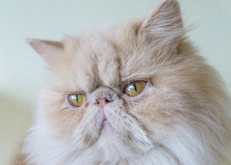 White and brown Exotic Himalayan Persian hybrid cat has long  mustache stare ,yellow eye,playful and sportive pet,kitten animal
