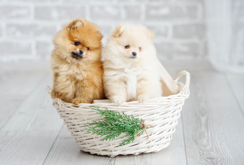 Adorable high bred spitz dog puppies sitting on decoration wicker basket