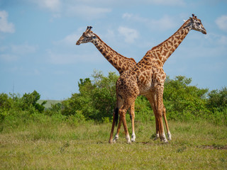Reticulated giraffe couple in a Kenya