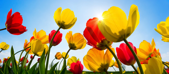 Beautiful tulips in vibrant red and yellow greeting the spring sun in the clear blue sky