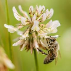 Bee on clover.