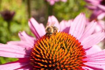 Bee on coneflower. Bee on a blurred background. A bee drinking nectar from a flower.