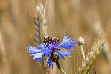 Bee on cornflower. Blue flower among the grain. Collects pollen and drink nectar.