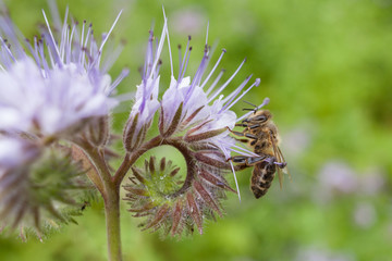 Bee on flower pink phacelia. Collecting pollen and drink nectar. Light Purple flower with insect.