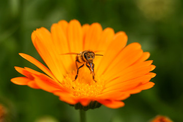 Bee on orange calendula. Collects pollen and drink nectar. Orange flower with insect.