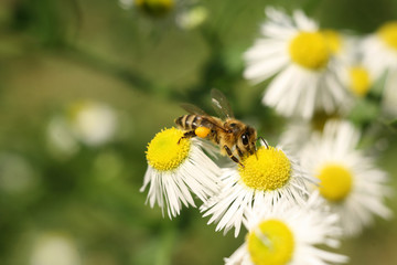 Bee on white, yellow aster. Collecting pollen and drink nectar. Purple flower with insect.